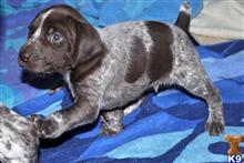 german shorthaired pointer puppy posted by gekodic560