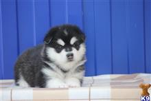 alaskan malamute puppy posted by gelenangs