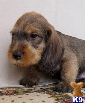 Dachshund Puppies on Dachshund Puppies For Sale
