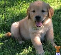 golden retriever puppy posted by georgewales02