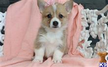 pembroke welsh corgi puppy posted by georgewales306