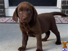 labrador retriever puppy posted by georgewales837