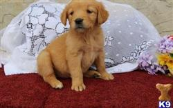 golden retriever puppy posted by georgewallcot74