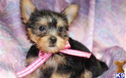 yorkshire terrier puppy posted by georgewallcot74