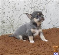 chihuahua puppy posted by gerdedupsi
