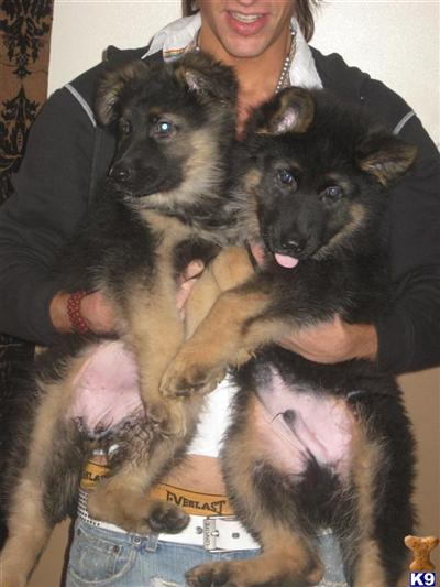 germanshepherdmad Picture 1