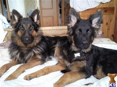 germanshepherdmad Picture 3