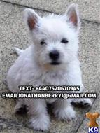 west highland white terrier puppy posted by gertaskas
