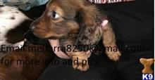dachshund puppy posted by gilafo