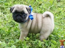 pug puppy posted by gloriamane