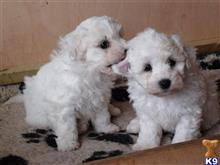 maltese puppy posted by gloriawellsion