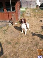 English Springer Spaniel Stud Dogs