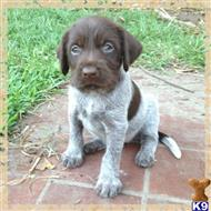 german shorthaired pointer puppy posted by gofep60297