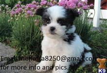 havanese puppy posted by gojit