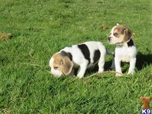beagle puppy posted by gwenllian T
