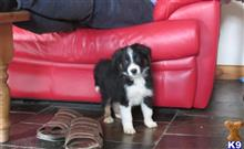 border collie puppy posted by gwenllian T
