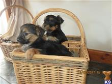 yorkshire terrier puppy posted by gwenllian T
