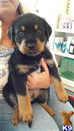 rottweiler puppy posted by gygfhfmf
