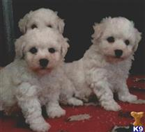 bichon frise puppy posted by Gypsy13