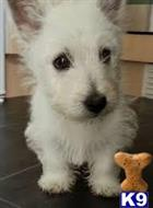 west highland white terrier puppy posted by habramnomes