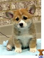 pembroke welsh corgi puppy posted by hahoc89831