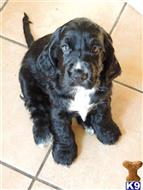 cocker spaniel puppy posted by hallme