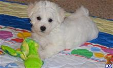 bichon frise puppy posted by hanbekc