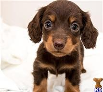 dachshund puppy posted by harriet990