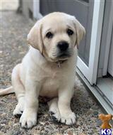labrador retriever puppy posted by harrisdaphn47