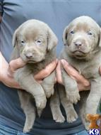 labrador retriever puppy posted by harrisdaphne26