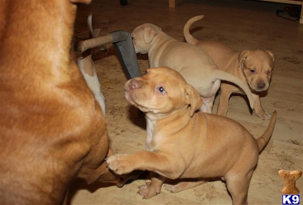 red nose american staffordshire terrier red nose pups 30486 218