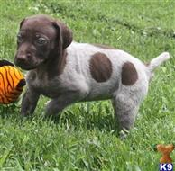 german shorthaired pointer puppy posted by hayaki3701