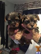 yorkshire terrier puppy posted by hellen99