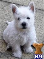 west highland white terrier puppy posted by henrystaff