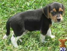 beagle puppy posted by hg22cjb