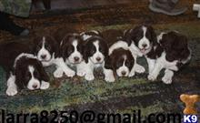 english springer spaniel puppy posted by hivevid267
