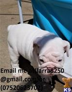 english bulldog puppy posted by hiwaba8874