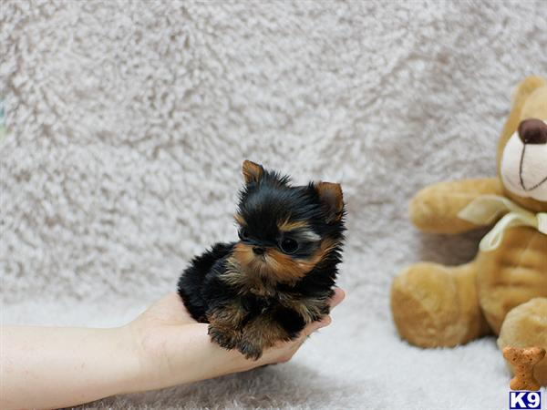 Teacup Yorkshire Terrier Hypoallergenic Dogs | Dog Breeds Picture