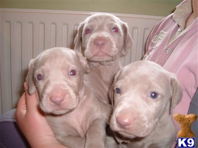 Weimaraner Puppies on Weimaraner Puppies For Sale