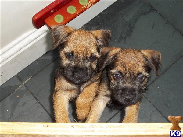 Dogs For Sale Arlecdon