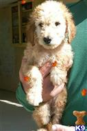 goldendoodles puppy posted by hussainzainab