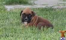 boxer puppy posted by InfoK9PuppyCustomercare