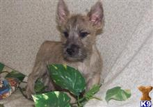 cairn terrier puppy posted by irinetimoh