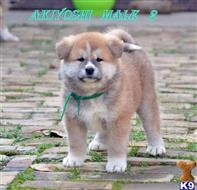 akita inu puppy posted by ivicasijacic