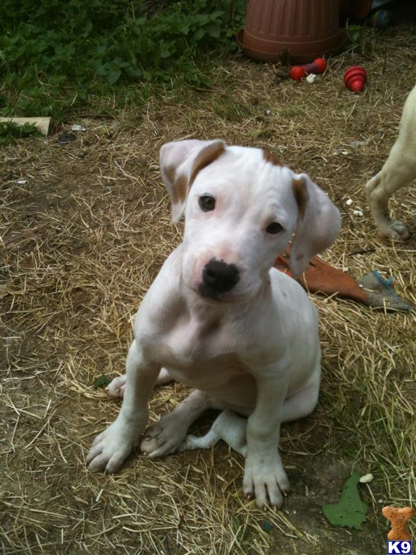 Home Puppies For Sale American Bulldog LADY ROXANNA SCOTT TYPE X ROSCO ...