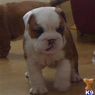 bulldog puppy posted by Jajca