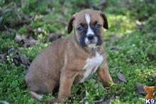 boxer puppy posted by jakelonger28