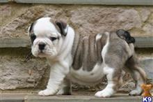 english bulldog puppy posted by jakelonger28