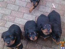 rottweiler puppy posted by jakelonger74