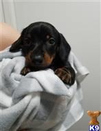 dachshund puppy posted by james6